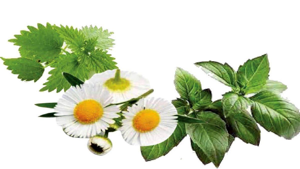 بهترین گیاه دارویی موثر در کنترل روماتیسم
